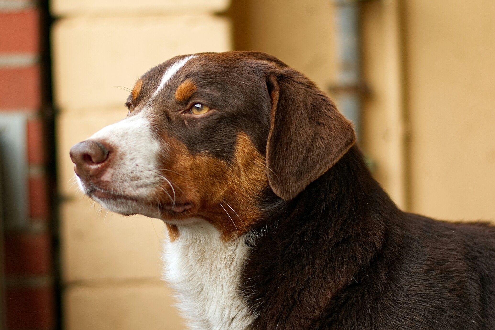 Edler Appenzeller Rude In Havannabraun Appenzeller Hund Hunde Sennenhund