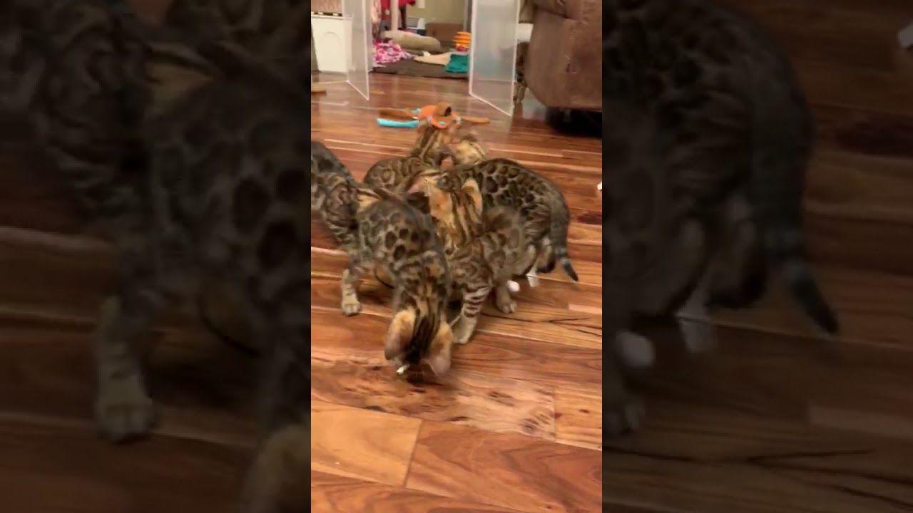 Bengal news julies kittens born 11519 bengal kitten