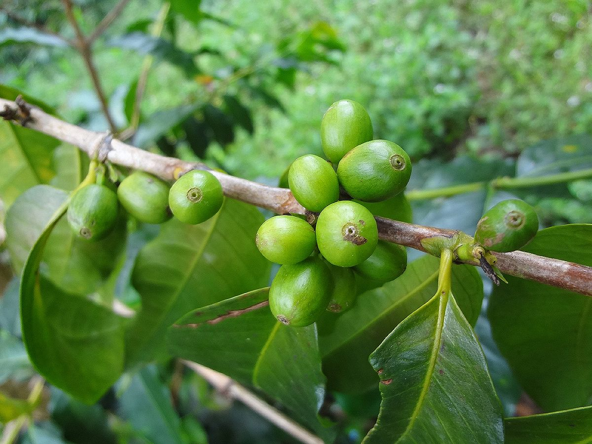 Green coffee berries. Submitted by