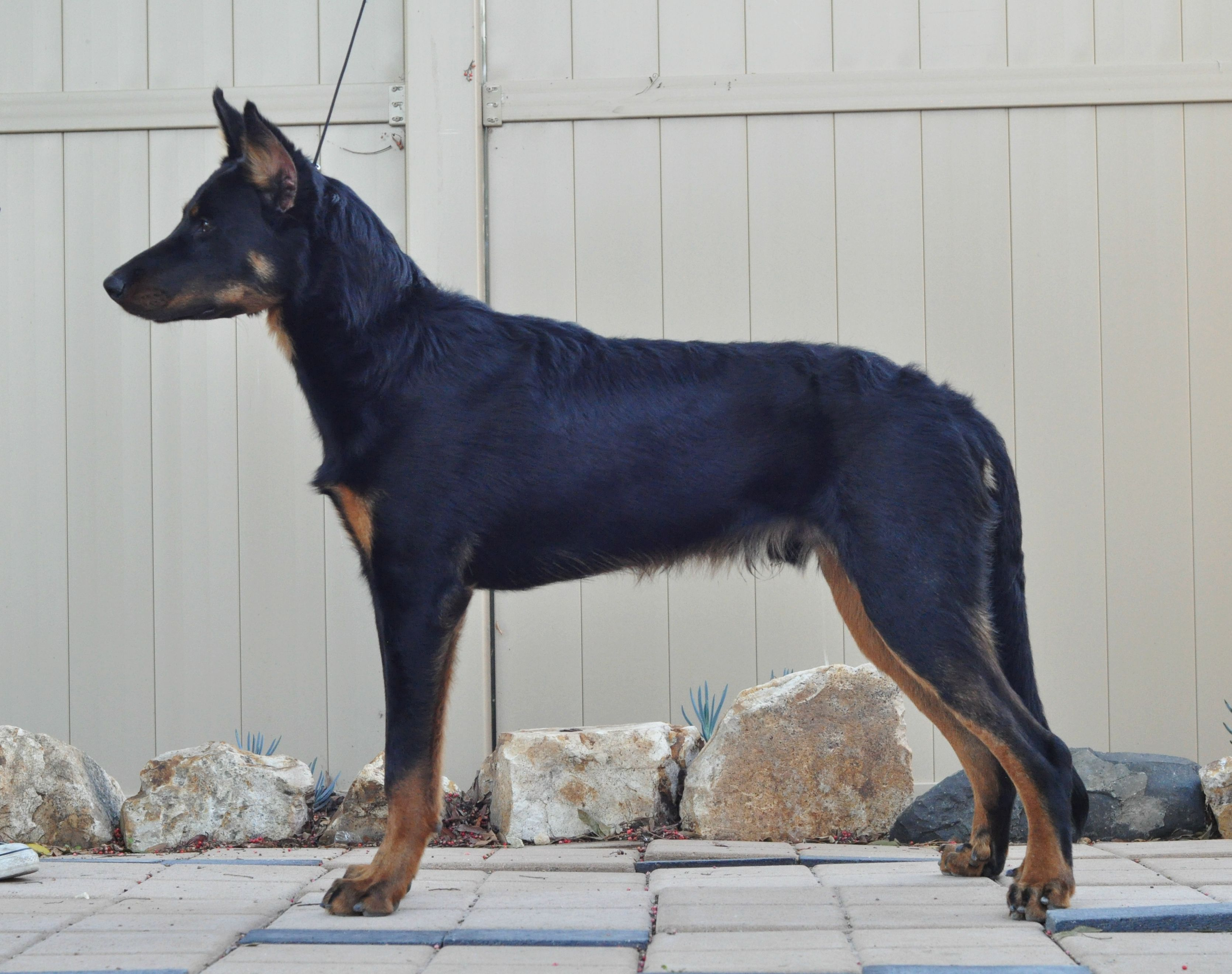 Beauceron Puppy 7 Months Berger De Beauce Bas Rouge French