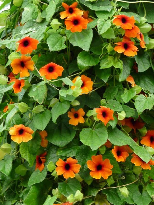 thunbergia alata 39 superstar orange 39 grande perspective du jardin des plantes en automne paris. Black Bedroom Furniture Sets. Home Design Ideas