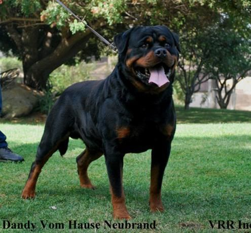 Our Breeding Programs Offers Rottweiler Puppies For Sale From Some