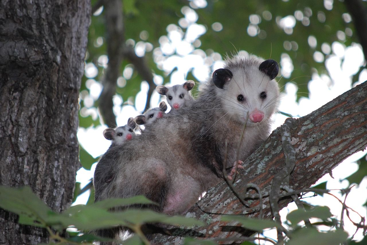 Free Image On Pixabay Possum Opossum Animal Young Animals Baby Possum Baby Animals