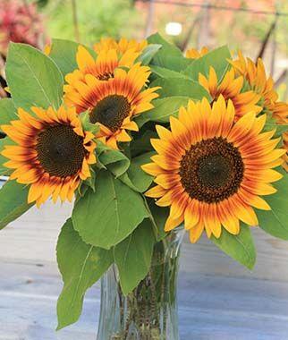 Sunflower Fire Catcher Burpee In 2020 Flowers Flower Arrangements Sunflower