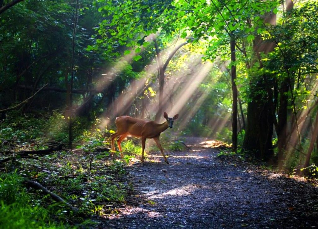 Deer in Forest, Beautiful, Deer, Forest, Picture, Sun Rays 176100 | Deer  pictures, Wildlife photography, Nature