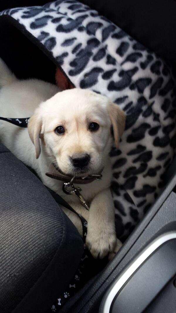 Yellow Lab Puppy Labrador Dogs
