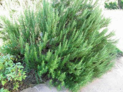 Cold Hardy Rosemary: Rosemary Varieties For Zone 5 Gardens