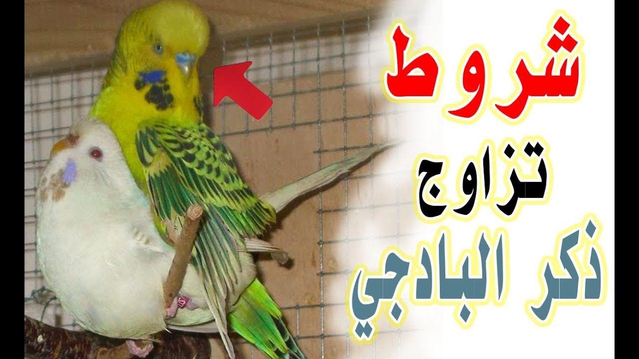 ببغاء فيشر للبيع للتفاصيل اتصلوا على الرقم 01228065001 للمزيد من الإعلانات والعروض المميزة تصفحوا الموقع أو حم لوا التطبيق الرابط ف Parrot Bird Stuff To Buy