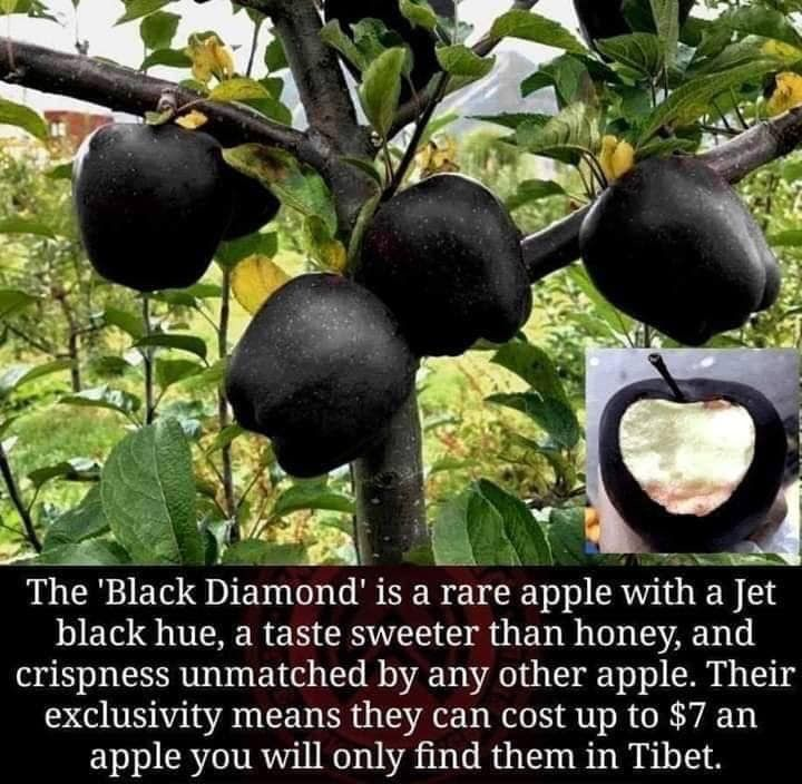Ship in 1 Gal Pot Black Perl Wax Apple Airlayer Tree 2 Feet Tall