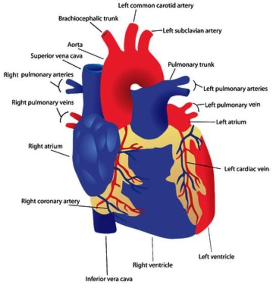 Labeled Pictures Of the Heart Best Of 17 Best Ideas About ...