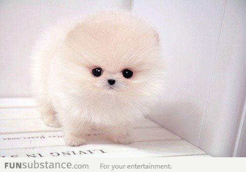 Teacup Pomeranian Puppy Cute Baby Puppies White Pomeranian