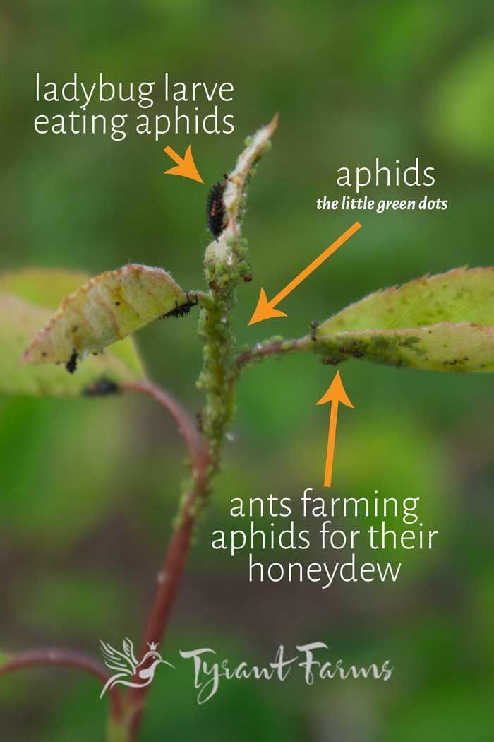 What Do Ladybug Larvae Look Like Tyrant Farms Ladybug Larvae