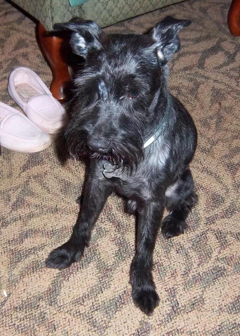 Adopt Coal on Buy puppies, Schnauzer dogs, Humane society