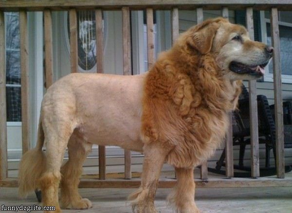The Lion Cut Not Just For Purse Dogs And Poodles Anymore We - Homeless dog found on the streets becomes a lion in this epic photoshoot