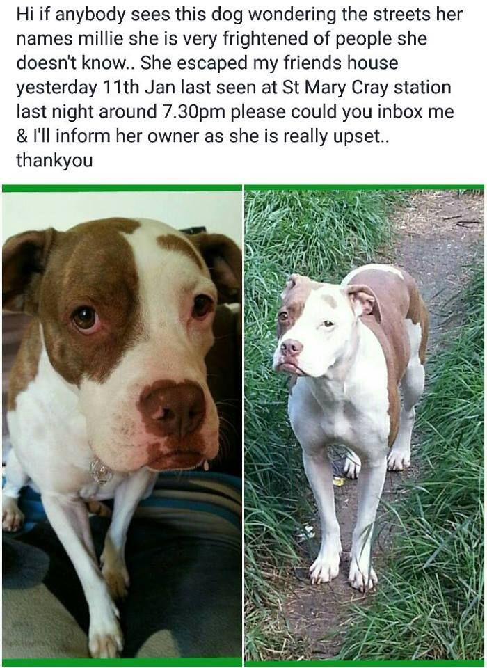 Lost Female Dog Orpington Dogs Animals Pitbulls