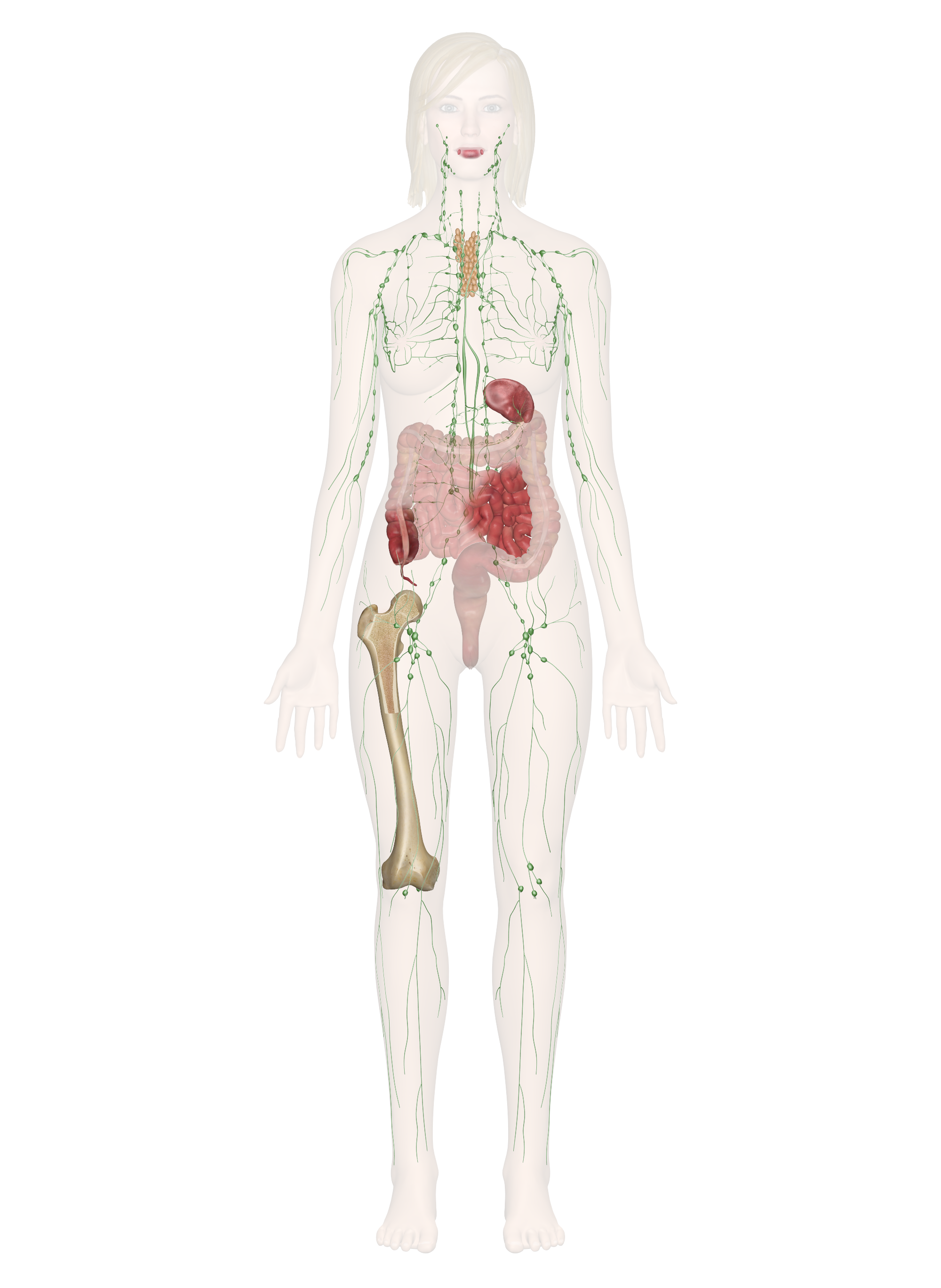 Immune And Lymphatic Systems Anatomy Pictures And