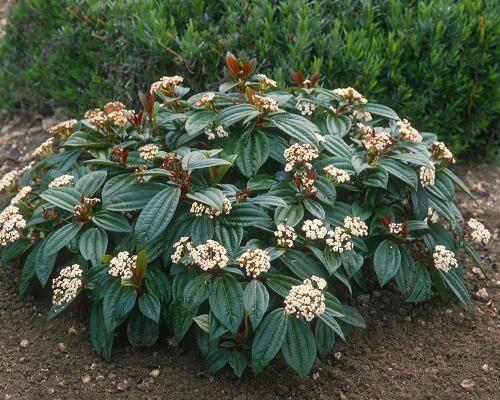 Viorne de david viburnum davidii jardin pinterest for Achat plante jardin