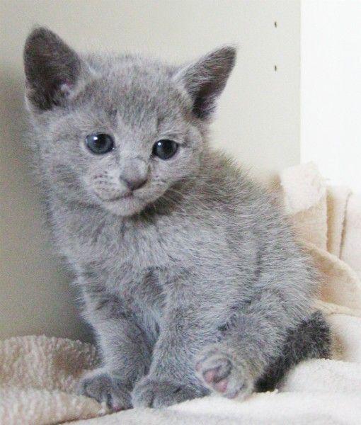 Minnie the Russian Blue cat