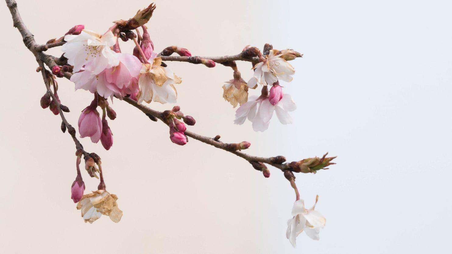 Cherry Blossom Tree Cherry Blossom Flowers Blossom Flower Blossom Meaning