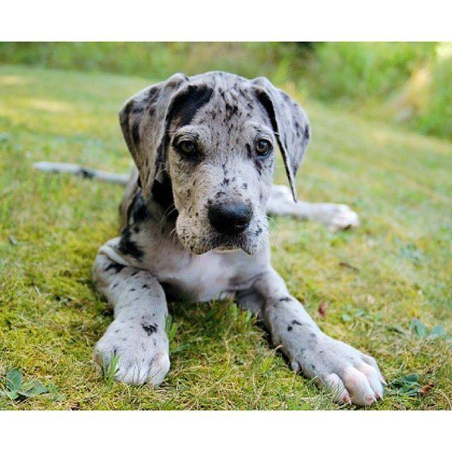 Stand Tall Greatdane Great Dane Dogs Dane Puppies Dane Dog
