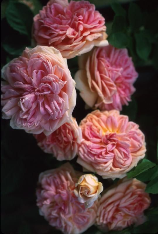 Love Garden Roses: Alchymist Rose Photo - Lisa O Photos