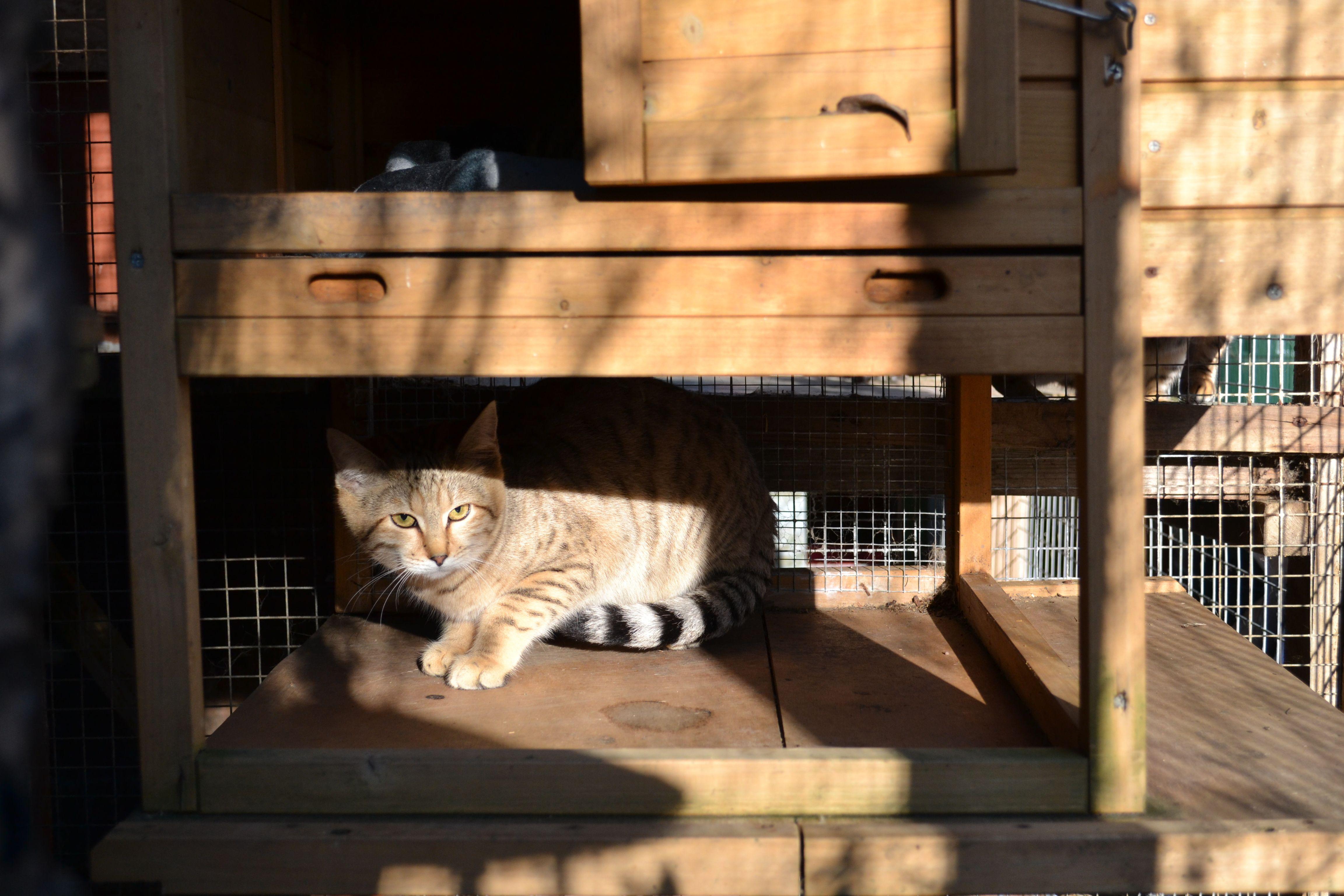 Suave Sand Cat ;) Funny BIG cats! Cats, Sand cat