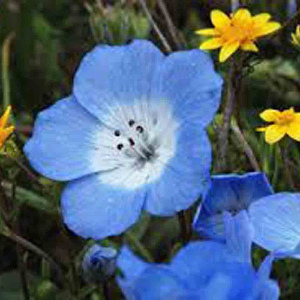 California baby blue eyes flower 300 seeds drought