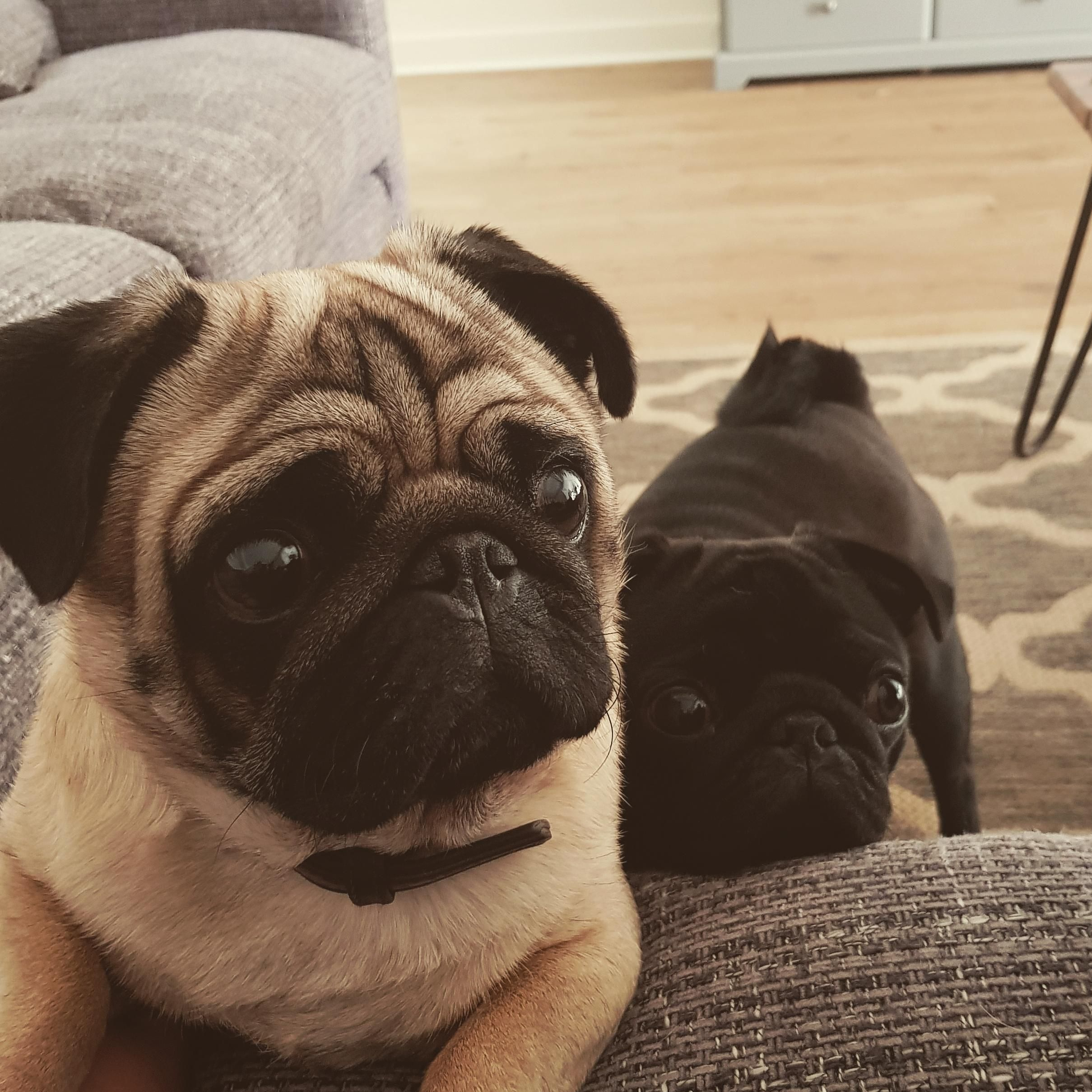 Pin By Flori Cobb On Pugs Cute Pug Puppies Baby Pug Dog Cute Dogs