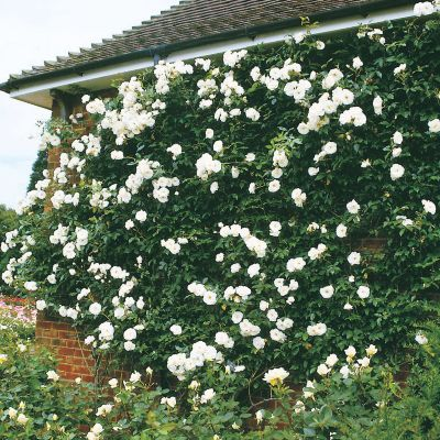 Iceberg Climbing Rose for the side of the garage?