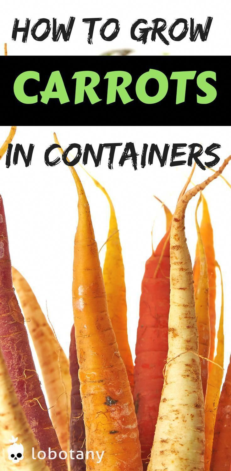 How to grow carrots in containers  container gardening  grow food on your balcony garden  urban gardening  gardening ideas  vegetable garden