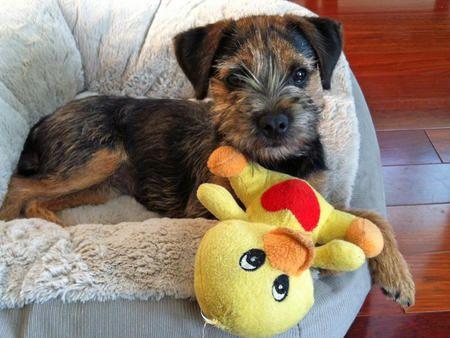 Thu 6 6 Ma Border Terrier Puppy Border Terrier Terrier