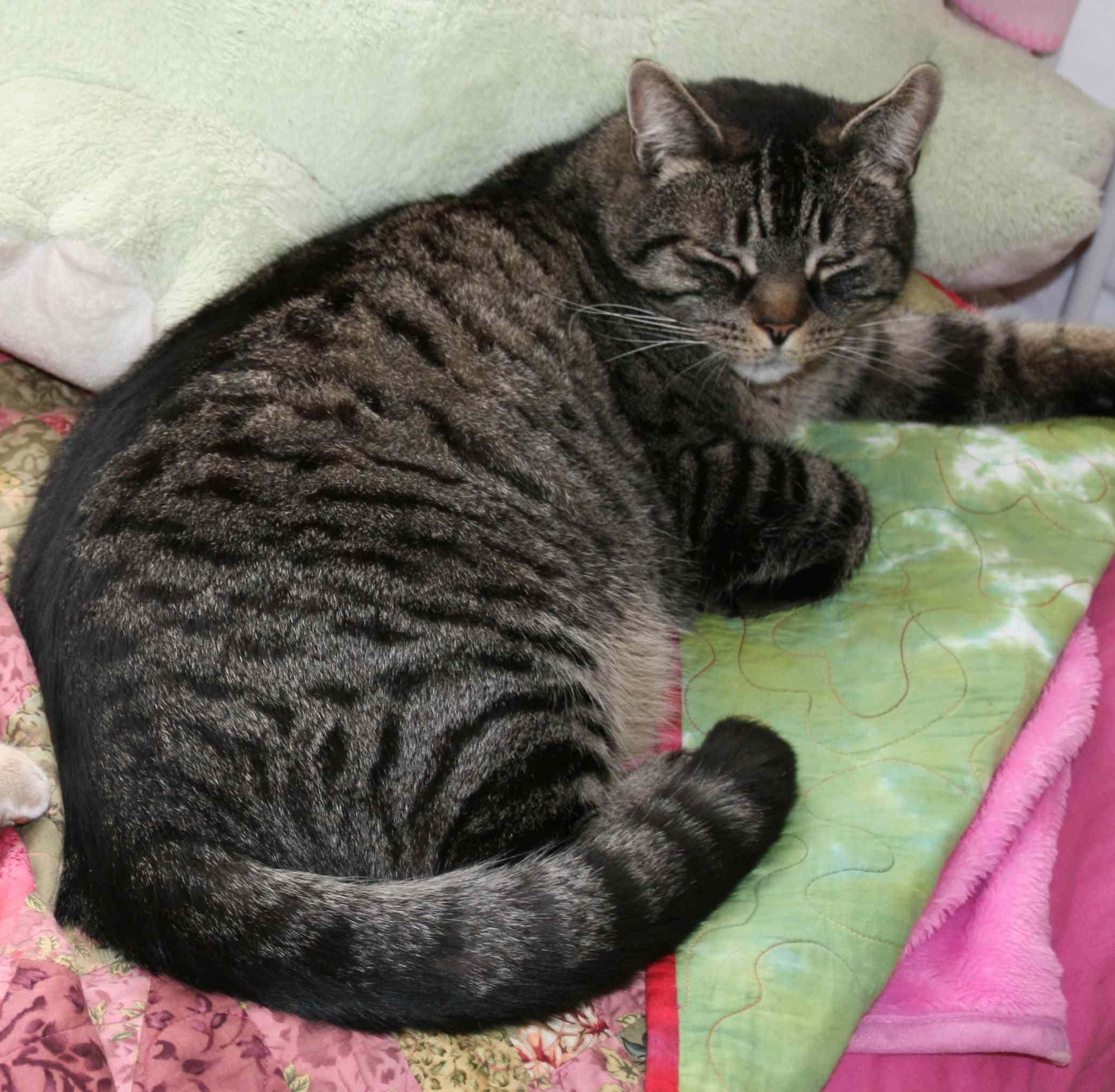 Black Tabby Cat Google Search Grey Tabby Cats Tiger Striped Cat Striped Cat