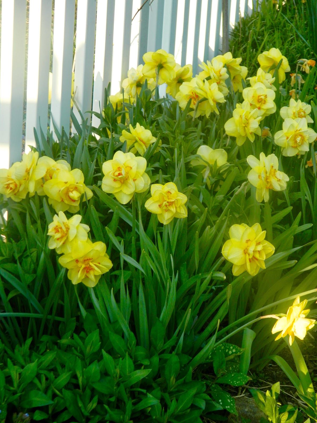 Outdoor flowers that like sun - Daffodils Tahiti When Many Other Daffodils Die Back Tahiti Continues To Strut Tahitiotherdaffodilsperennialssungardenflowers