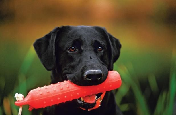 Turn Your Dog Into A Turbo Retriever With Backyard Obedience