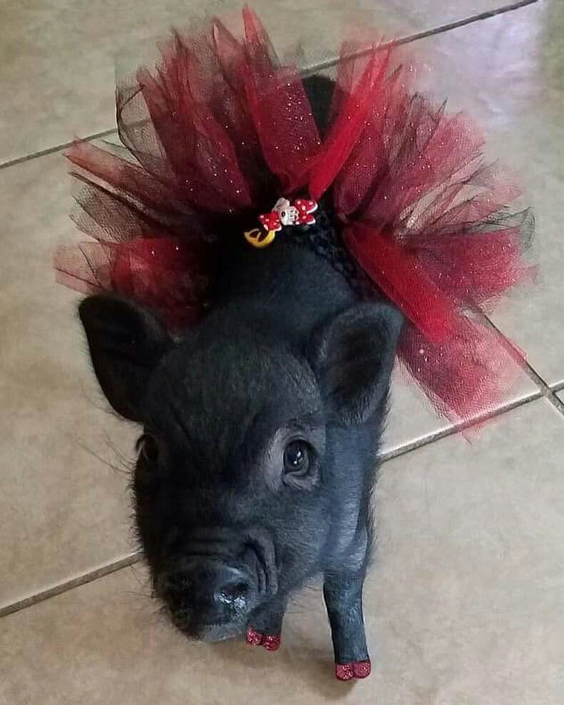 Oh my I love you !!!   Funny pig pictures, Baby pigs