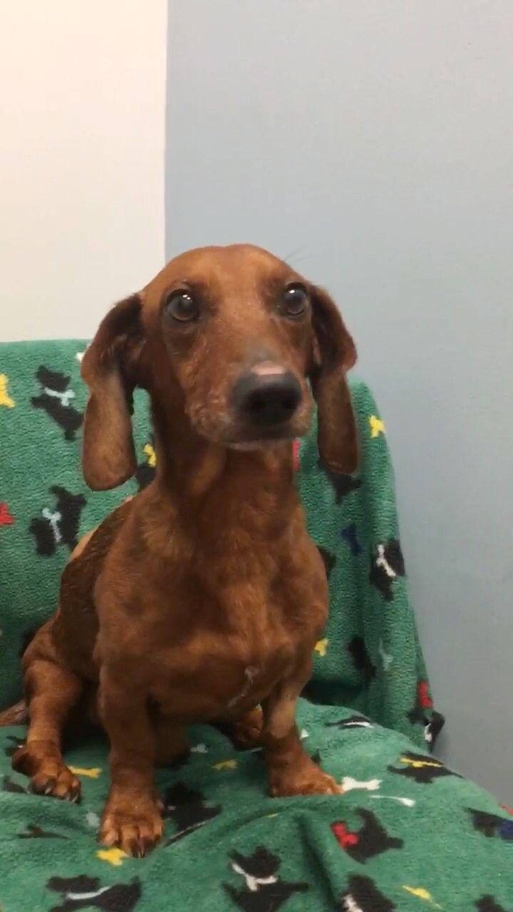 Dachshund dog for adoption in weston fl adn733267 on