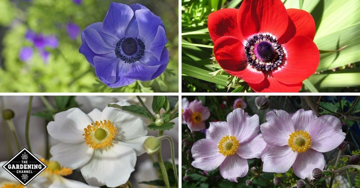 How To Grow Anemone Flowers Gardening Channel 1000 In 2020 Flowers Name List Anemone Flower Perennial Flowering Plants