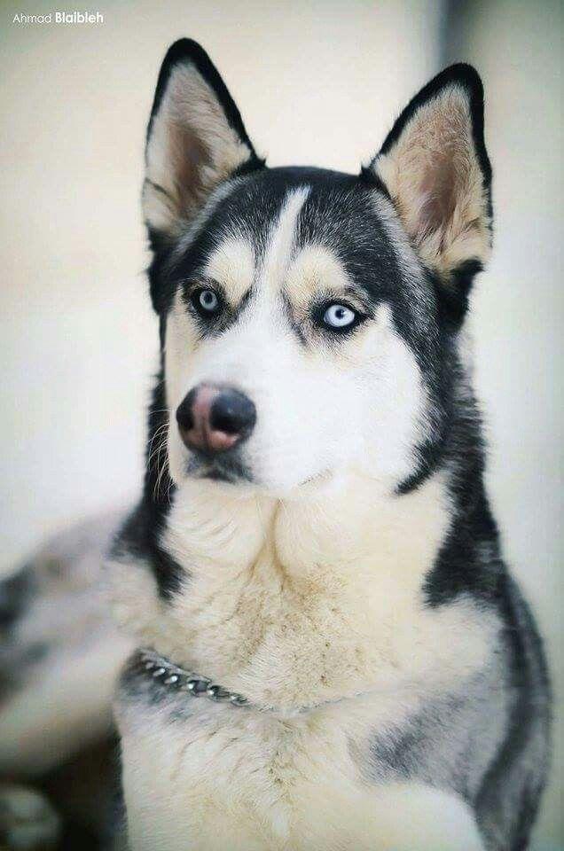 Pin By Knatia Parson On Animals Snow Dogs Husky Alaskan Malamute