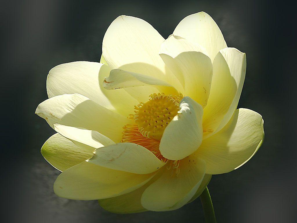 American Yellow Lotus Nelumbo Lutea Favorite American