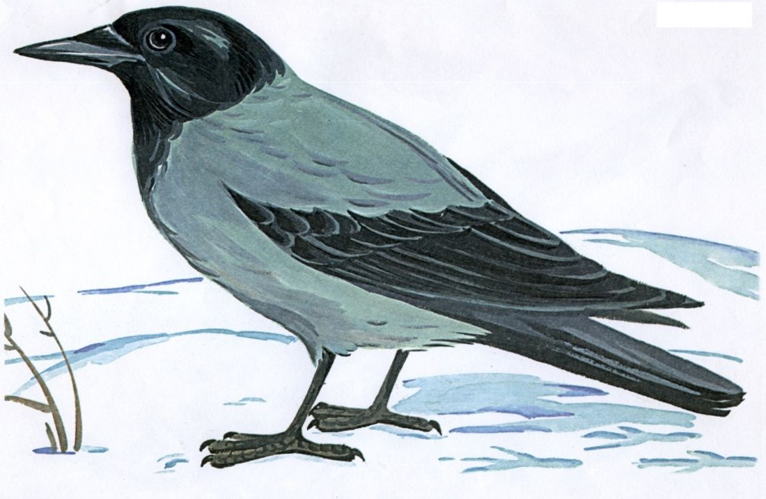 Картинка ворону для детей