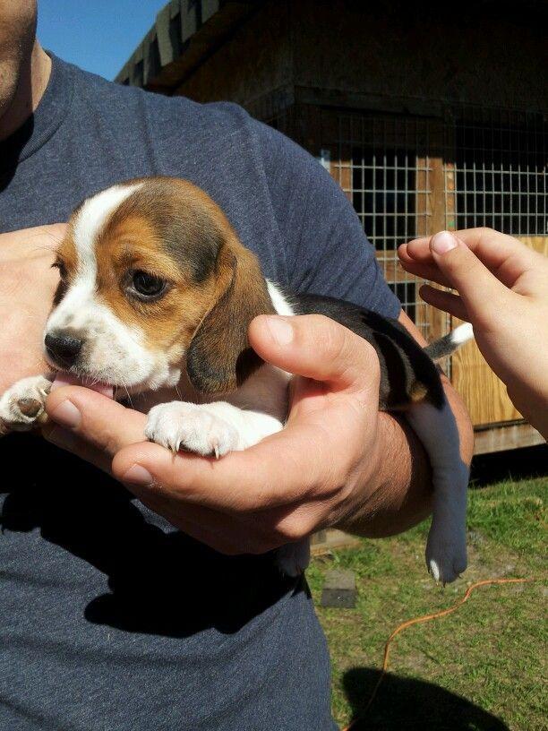 Most Inspiring Smart Beagle Adorable Dog - a3d06b338fcab57fca986b2436d53b10  Picture_789425  .jpg