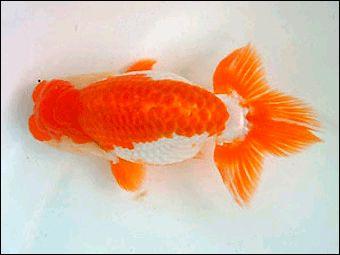 Ranchu Goldfish Aquarium Fish Freshwater Fish