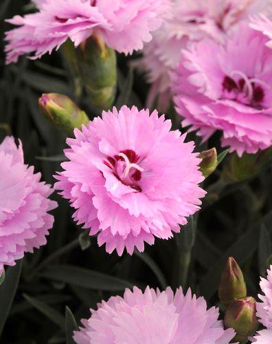 Dianthus 'EverLast Lavender + Eye' | Floral Power ...