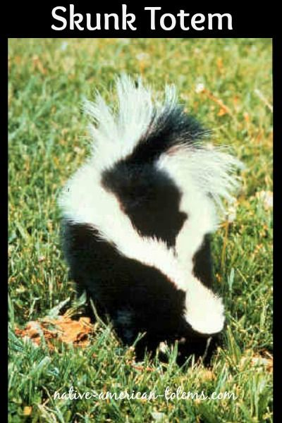 The Teachings Of Skunk Skunk Smell Getting Rid Of Skunks Skunk