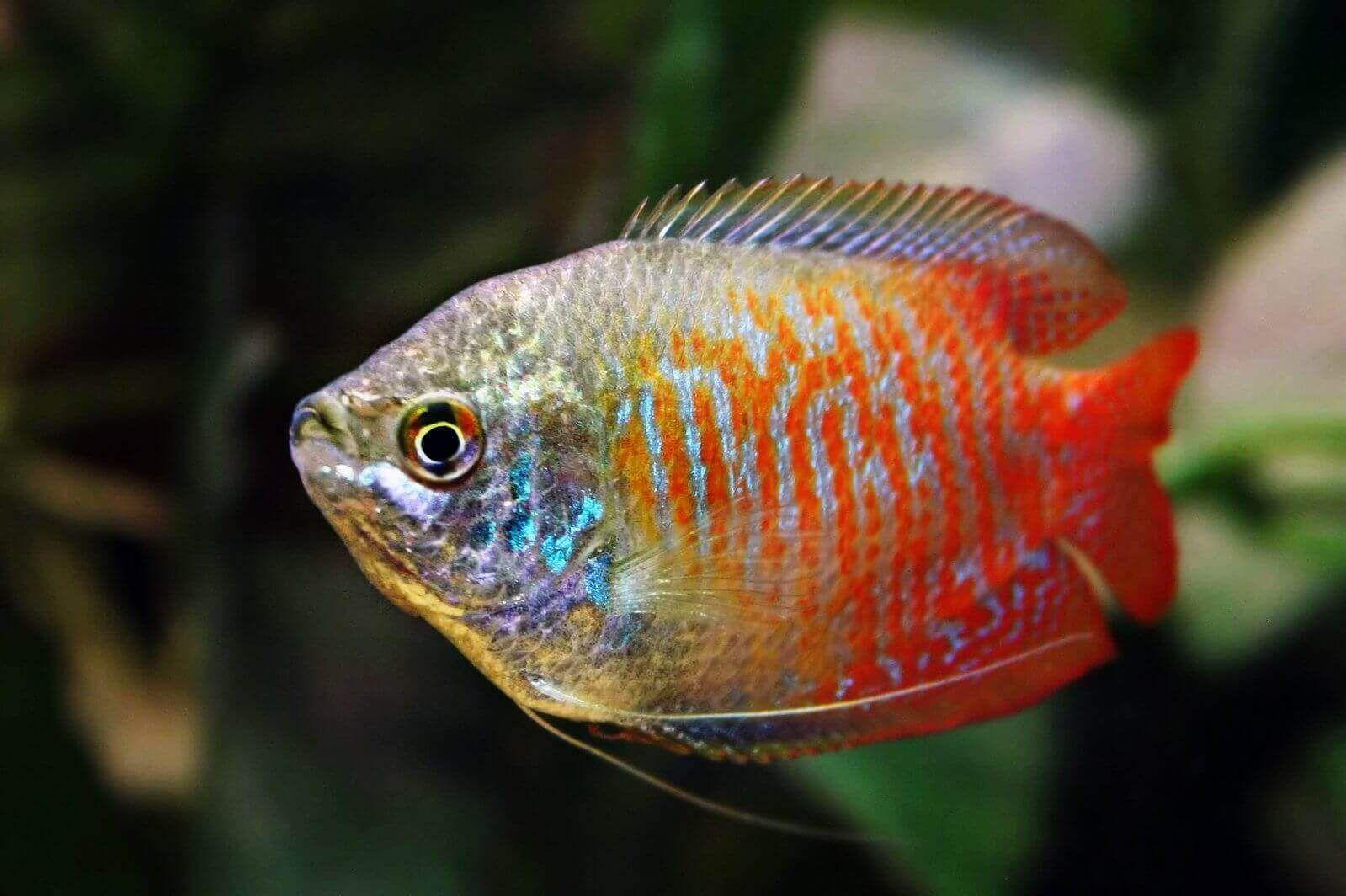 Red Dwarf Gourami Colisa Lalia Di 2020 Ikan Tropis Ikan