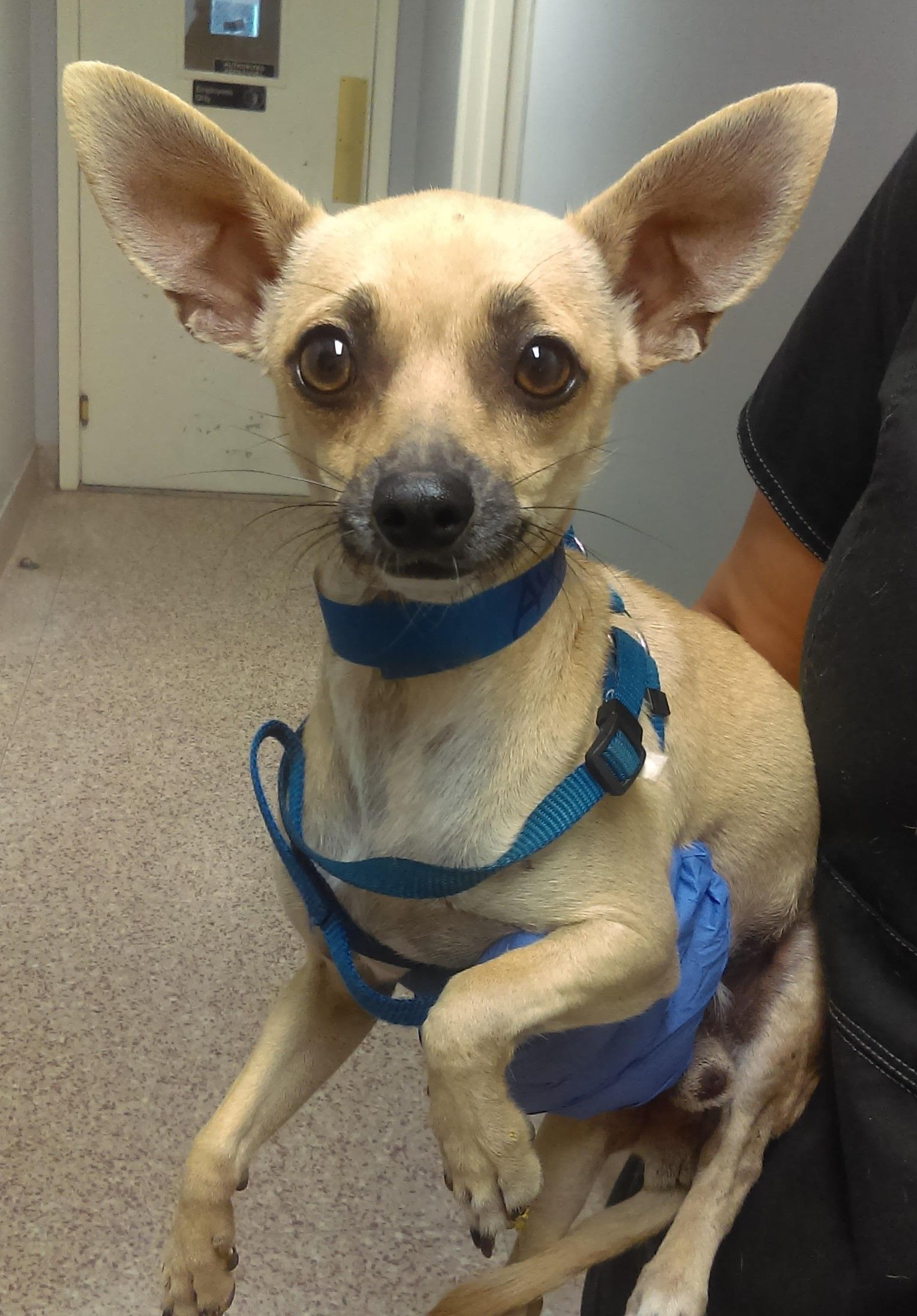 Chihuahua dog for Adoption in Seattle, WA. ADN699470 on