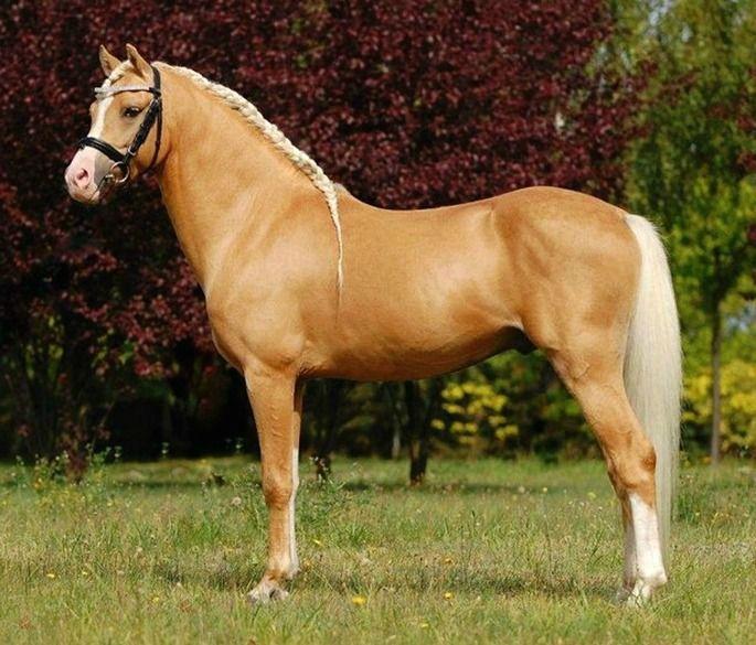 Welsh Pony section B stallion, Tycjan photo Weronika Zablocka - best of welsh pony coloring pages
