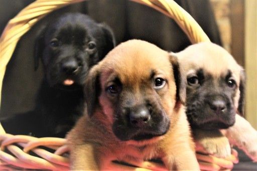 Litter Of 8 English Mastweiler Puppies For Sale In Conroe Tx Adn