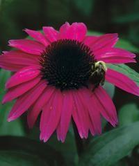 "Common nameConeflowerBotanical nameEchinacea hybridVarietyBig Sky® After Midnight®ZoneUSDA Zone 3 (-40°F) to USDA Zone 9 (20°F).ColorPurpleLightpart sunHeight12-18"" (31-46 cm)HabituprightWaterweekly during dry spellsFeeduse all-purposeMaintenanceremove spent blooms"