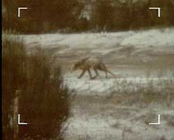 Tasmanian Tiger Still Alive Google Search Tasmanian Tiger Thylacine Tasmanian